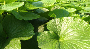 Wasabi - jedna z najtrudniejszych na świecie roślin w uprawie