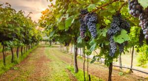 Polskie winnice rozwijają się bardzo dynamicznie
