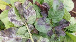 Czym zwalczać zarazę na plantacjach ziemniaczanych?