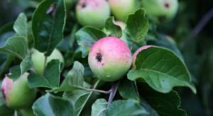Ukraina: Nadmierne opady deszczu doprowadziły do problemów z jakością jabłek