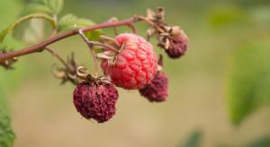 IUNG: Susza wciąż odczuwalna w uprawie krzewów owocowych