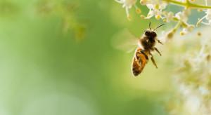 Ekolog: W działaniach na rzecz ochrony pszczół zapomina się o larwach