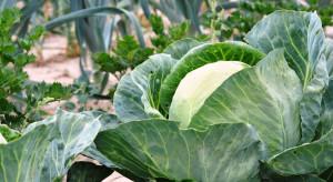 GUS: Susza wpłynęła na niższą produkcję warzyw gruntowych w tym sezonie