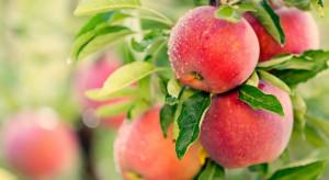 Prognozy rekordowych zbiorów owoców nie sprawdzą się? Nie opłaca się ich zrywać