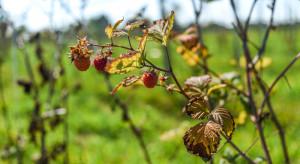 IUNG: susza mocno odczuwalna wśród upraw krzewów owocowych