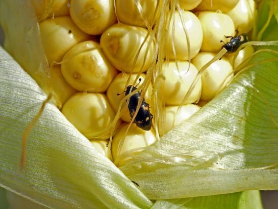 Urazek kukurydziany coraz liczniej pojawia się na opadłych owocach