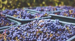 Niemcy: Pierwszy raz tak wcześnie rozpoczęto zbiory winogron