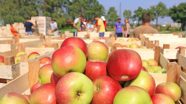 UE: Szykują się największe zbiory jabłek od dekady