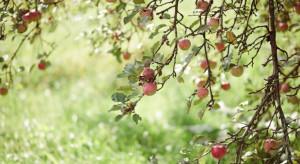 Sady owocowe na Ursynowie przyciągają warszawiaków starymi odmianami