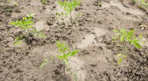 Susza powoduje duże spadki plonów warzyw w UE