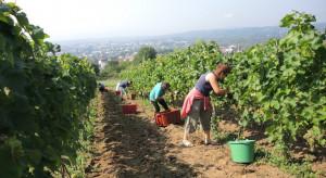 Pierwszy zbiór winogron z Winnicy Jasło