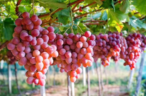 KOWR: Deklaracje dotyczące uczestników rynku wina należy złożyć do 31 sierpnia