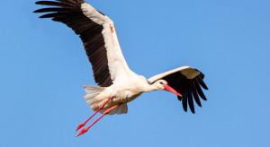 Ornitolodzy: Bociany opuściły Polskę. Trudno wskazać przyczynę wczesnego odlotu