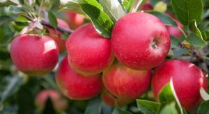 GIORIN informuje o wymaganiach dla eksporterów jabłek do Chin