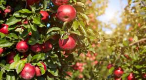 Czy przerobimy wszystkie jabłka? Przetwórcy o sytuacji na rynku owoców