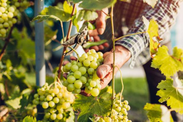 Francja: Producenci wina uważają, że ten rok będzie wyjątkowo dobry