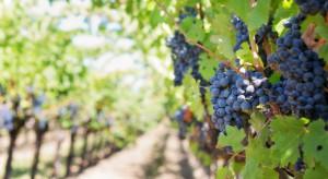 Francja liczy na lepsze winobranie