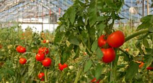Duże spadki cen ukraińskich pomidorów szklarniowych