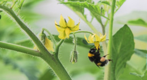 Badania: Trzmiele uzależniają się od pestycydów