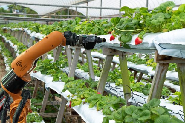 Brytyjscy naukowcy pracują nad robotem przeznaczonym do zbioru truskawek