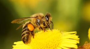 Francja: Zakazano stosowania 5 neonikotynoidów uważanych za zabójcze dla pszczół