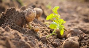 Eliminacja naci pomaga zapobiec porażeniu bulw zarazą ziemniaka