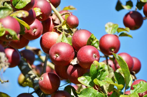 Problem nadpodaży polskich jabłek można było przewidzieć w sezonie 2014/15