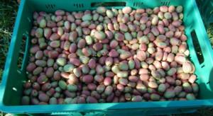 Naukowcy SGGW pracują nad wykorzystaniem owoców MiniKiwi w przetwórstwie