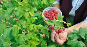 Plantator malin: Bez pomocy rządu uprawa malin w Polsce nie ma przyszłości