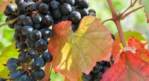 Grapevine Syrah virus-1 na winorośli – może pojawić się także w Polsce