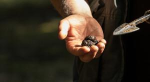 Trufle, najdroższe grzyby świata, można produkować również w Polsce