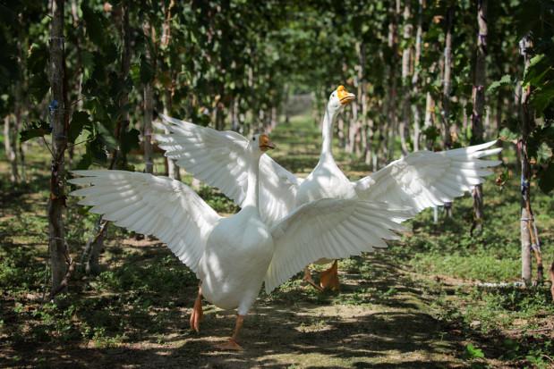 Włochy: Ptaki zastępują chemiczne zabiegi w ekologicznej winnicy