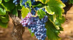 Dobre zbiory winogron na Podkarpaciu. Choroby nie były dużym problemem