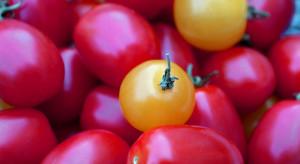 Polska na 7. miejscu pod względem produkcji pomidorów w UE