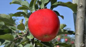 Nowa odmiana jabłka wprowadzana we Francji