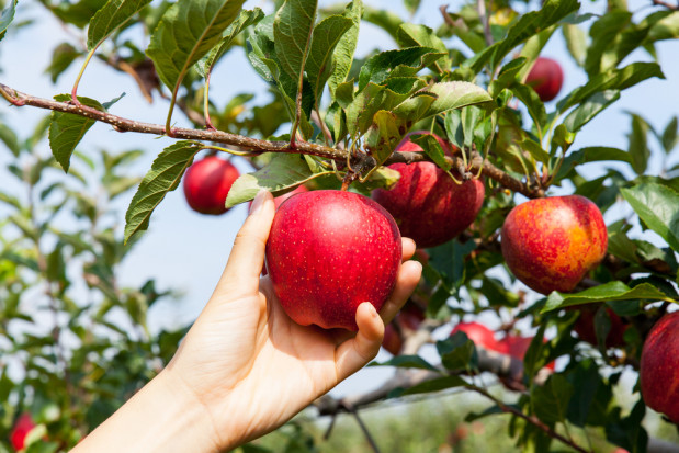 Czy to koniec unijnych dopłat dla polskich jabłek za wycofanie owoców?