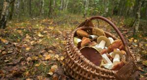 Nowy gatunek grzyba w Polsce. Ekspertka radzi utylizować