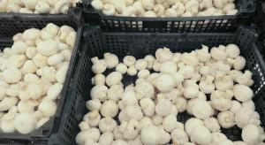 Susza zachwiała polskim rynkiem pieczarek