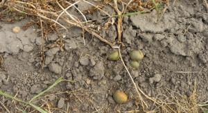 IUNG-PIB: Deficyt wody wciąż mocno odczuwalny w uprawach ziemniaka