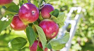 GUS: Zbiory z sadów jabłoniowych będą o 60% większe niż w rok temu