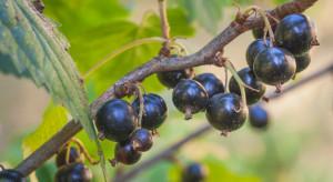 GUS: Dobre plonowanie jagodowych, jednak nie wszystkie owoce zebrano