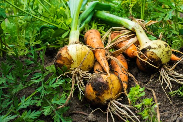GUS: Mniejsze zbiory warzyw cebulowych, korzeniowych i kapustnych