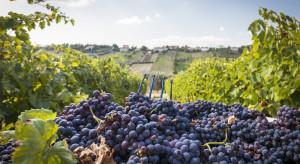 Tegoroczny sezon sprzyja uprawom winorośli w Polsce i w Europie