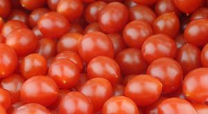 Tomberry – odmiana pomidorów o owocach wielkości borówek
