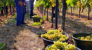 Podkarpackie: zbiory winogron dobiegają końca