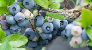 Borówki uprawiane w hydroponice – jakie korzyści dla plantatorów?