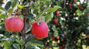 Ewa-Bis: Ekologiczne jabłka to szansa dla polskiego sadownictwa