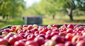 Ukraina: Wysokie zbiory jabłek powodują spadek cen owoców