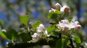 Nosemoza - badaczka z Lublina pracuje nad lekami przeciw chorobom pszczół