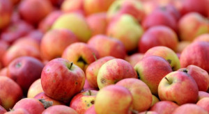 """""""Elizówka"""" ruszyła z pierwszym skupem jabłek w poniedziałek"""